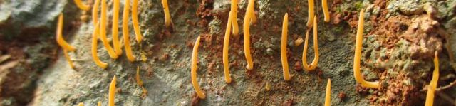 Lepidostroma