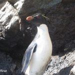 11macaroni_penguin