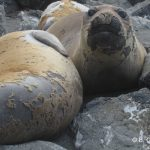 12south_american_sea_lion