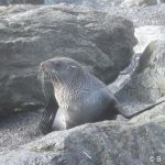 13south_american_fur_seal